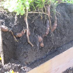 Growing Potato Vertically In A Box